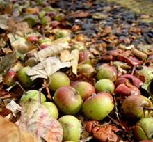 Field Apples