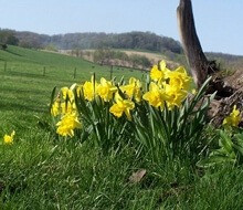 The Daffodils are in bloom again!